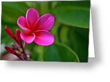 Plumeria - Royal Hawaiian Greeting Card