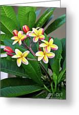 Plumeria Flowers 5 Greeting Card