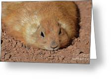 Plump Resting Prairie Dog Laying Down Greeting Card