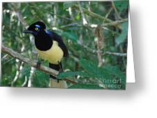 Plush-crested Jay   Cyanocorax Chrysops Greeting Card