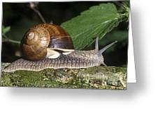 Pneumostome Of A Burgundy Snail Greeting Card