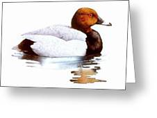 Pochard Greeting Card