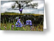 Pocket Of Lupines Greeting Card
