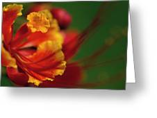 Poinciana Greeting Card