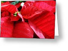 Poinsettia In Bloom Greeting Card