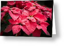 Poinsettia Morning Dew Greeting Card