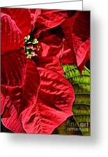 Poinsettias - Flaming Reds Greeting Card