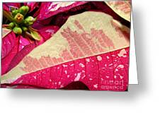 Poinsettias -  Painted And Speckled Up Close Greeting Card