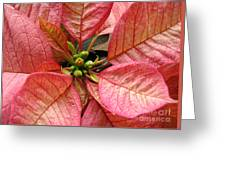 Poinsettias -  Pinks In The Center Greeting Card