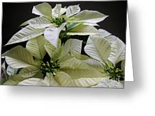 Poinsettias -  Winter White At Night Greeting Card