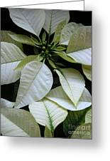 Poinsettias -  Winter Whites In Contrast Greeting Card