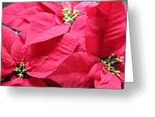 Poinsettias #1 Greeting Card