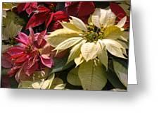 Poinsettias At Doi Tung Palace Greeting Card