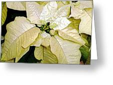 Poinsettias In White Greeting Card