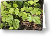 Poison Oak Vine - Toxicodendron Greeting Card