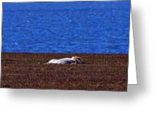 Polar Bear Rolling In Tundra Grass Greeting Card