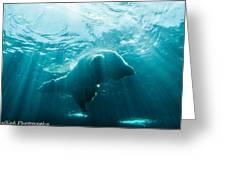 Polar Bear Swim Greeting Card