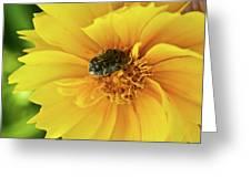 Pollen Feeding Beetle Greeting Card