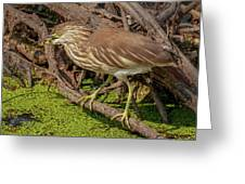 Pond Heron With Fish  Greeting Card