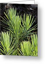 Ponderosa Pine 10 Greeting Card