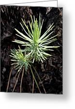 Ponderosa Pine 3 Greeting Card