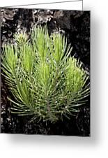 Ponderosa Pine 5 Greeting Card