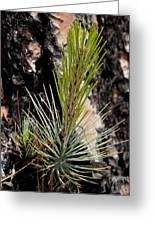 Ponderosa Pine 9 Greeting Card