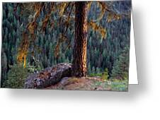 Ponderosa Pine Greeting Card