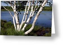 Pontook Birch Greeting Card