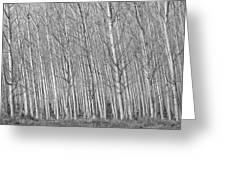 Poplars Beauty Trees Greeting Card