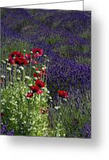 Poppies In Lavender Greeting Card