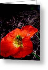 Poppy At Dusk Greeting Card