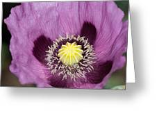 Poppy Flower Close Up Greeting Card