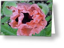 Poppy Opening - 2 Greeting Card