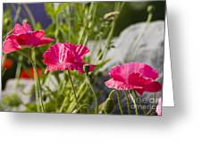 Poppy Trio Greeting Card