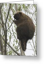 Porcupine In A Tree Greeting Card