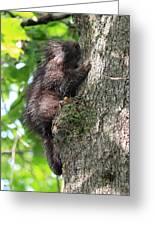Porcupine In Sherbrooke Quebec Greeting Card
