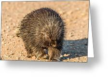 Porcupine Walking Greeting Card