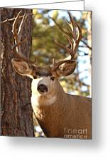 Portrait Of A 15-point Buck Greeting Card