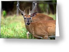 Portrait Of A Beautiful Buck  Greeting Card