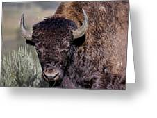 Portrait Of A Buffalo Greeting Card