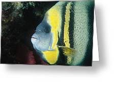 Portrait Of A Cortez Angelfish Greeting Card