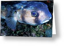 Portrait Of A Freckled Porcupinefish Greeting Card