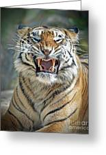 Portrait Of A Growling Tiger  Greeting Card