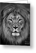 Portrait Of A Male Lion Black And White Version Greeting Card