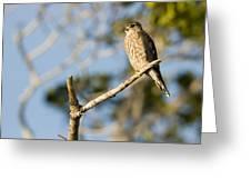 Portrait Of A Merlin Falco Columbarius Greeting Card