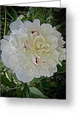 Portrait Of A Peony Greeting Card
