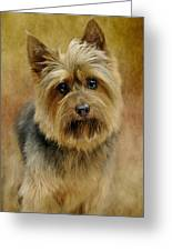 Portrait Of A Silky Terrier Greeting Card by Stephanie Calhoun