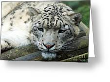 Portrait Of A Snow Leopard Greeting Card