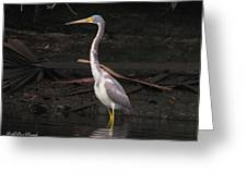 Portrait Of A Tri-colored Heron Greeting Card